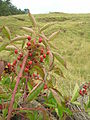 Starr 050815-3475 Rubus argutus.jpg