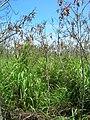 Starr 060416-7721 Leucaena leucocephala.jpg