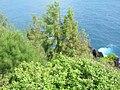 Starr 060422-7778 Casuarina equisetifolia.jpg