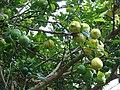 Starr 061105-1367 Citrus limon.jpg