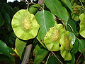 Starr 070727-7640 Pterocarpus indicus.jpg