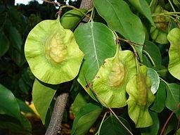 Starr 070727-7640 Pterocarpus indicus