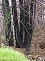 Starr 070908-9144 Sequoia sempervirens.jpg