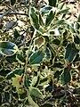 Starr 071024-0418 Ilex aquifolium.jpg