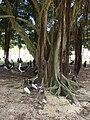 Starr 080601-5191 Ficus microcarpa.jpg