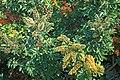 Starr 990105-2930 Schefflera arboricola.jpg