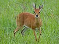 Steenbok (Raphicerus campestris) male (12598959934).jpg