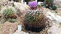 Stenocactus crispatus 2.jpg