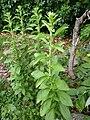 Stevia pied de 2 ans. Tige de 60 cm de hauteur.jpg