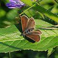 Storchschnabel-Bläuling, Aricia eumedon 2.jpg