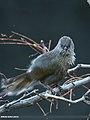 Streaked Laughingthrush (Trochalopteron lineatum) (23650683334).jpg