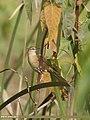 Striated Grassbird (Megalurus palustris) (34296181742).jpg