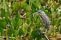 Striated Heron (Butorides striata) (31532027922).jpg