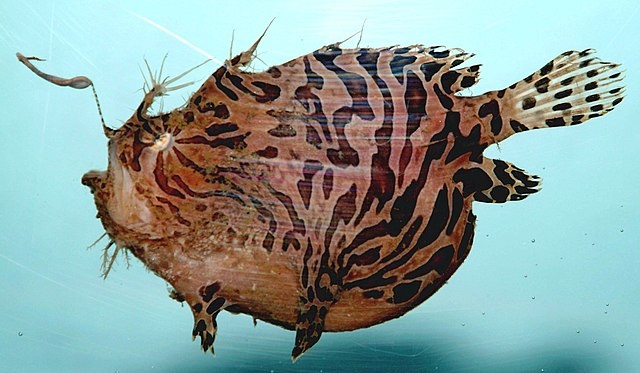 75% of sea creatures glow in the dark 640px-Striped_anglerfish_%28_Antennarius_striatus_%29