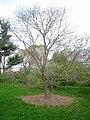 Styphnolobium japonicum, Arnold Arboretum - IMG 6050.JPG