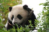 Su Lin giant panda bear cub at the San Diego Zoo.jpg