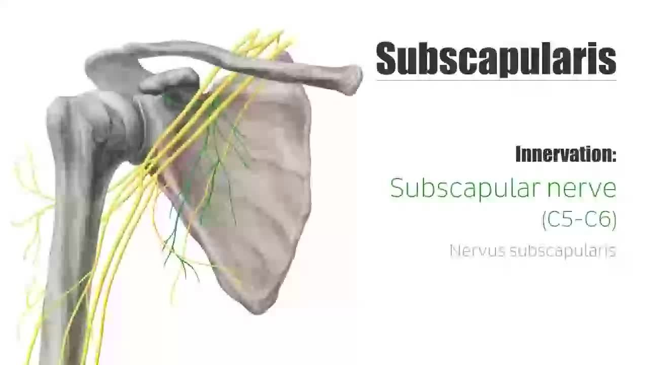 file:subscapularis muscle - origin, insertion, innervation, Muscles