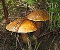 Suillus grevillei LC0109.jpg