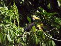 Sulawesi Knobbed Hornbill dm DSCN0910 v1.JPG