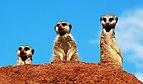 Suricata suricatta - Oasis Park - Fuerteventura.jpg