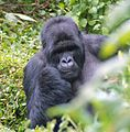 Susa group, mountain gorillas - Flickr - Dave Proffer (1).jpg