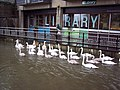 Swans by Salisbury Library - geograph.org.uk - 314972.jpg