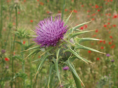 Sylibum marianum cardo I.jpg