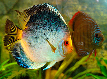 English: a fish of the genus Symphysodon