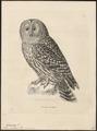 Syrnium uralense - 1700-1880 - Print - Iconographia Zoologica - Special Collections University of Amsterdam - UBA01 IZ18400163.tif
