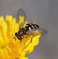 Syrphidae kallerna.jpg