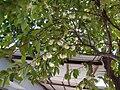 Syzygium samarangense 01.jpg