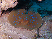 Photo of a stingray from the front, as it rests right next to a coral ledge