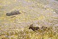 Tahr in its Kurinji Habitat DSC0474.jpg