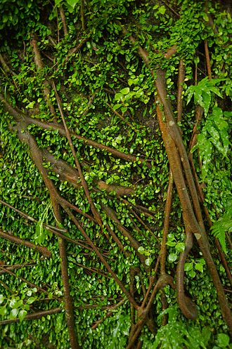 Vine - Retaining wall covered by vines