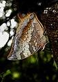 Tawny Rajah Charaxes bernardus Male UN by Dr. Raju Kasambe DSCN1769 (3).jpg
