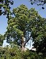 Taxodium distichum A.jpg