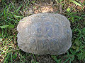 Testudo graeca 50 years old 3 male.jpg