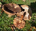 The Blusher. Amanita rubescens (49070024141).jpg