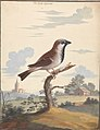 The Cock Sparrow by George Edwards.jpg