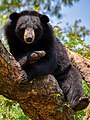 The Himalayan black bear (Ursus thibetanus) is a rare subspecies of the Asiatic black bear. 01.jpg
