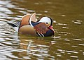 The Mandarin Duck of St. Ferdinand Park (45767786701).jpg