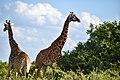 The Nairobi National park giraffes.jpg