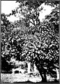The indigenous trees of the Hawaiian Islands (1913) (20539151839).jpg