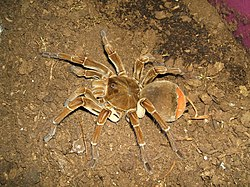 Theraphosa stirmi.jpg