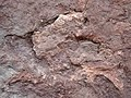Theropod dinosaur footprint in sandstone (Kayenta Formation or Navajo Sandstone, Lower Jurassic; Potash-Poison Spider dinosaur tracksite, Williams Bottom, west of Moab, Utah, USA) 40 (32376752633).jpg