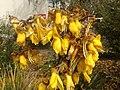 They love the kowhai flowers (15240306259).jpg