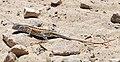 Three-eyed lizard (Chalarodon madagascariensis) female Toliara.jpg