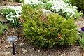 Thujopsis dolabrata 'Nana' - Morris Arboretum - DSC00245.JPG