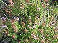Thymus hyemalis re.jpg