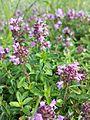 Thymus pulegioides subsp. pulegioides sl1.jpg